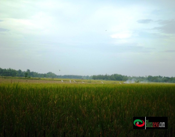 pertanian jipang panolan