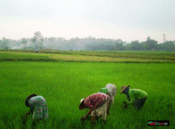 pertanian sebagai mata pencaharian masyarakat Japah