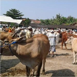 Pasar Hewan pahing Randublatung Blora