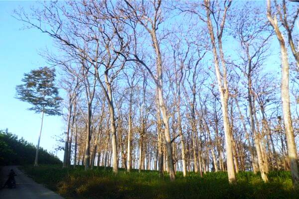 hutan jati bangkleayan