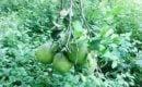 central jeruk