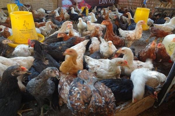 Ternak Ayam Joper
