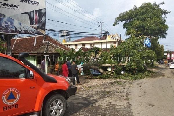 Pohon mahoni berukuran besar tumbang dan menutup sebagian ruas jalur provinsi Blora-Kunduran