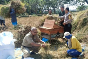 ASN, POLISI DAN TNI BANTU PETANI PANEN PADI