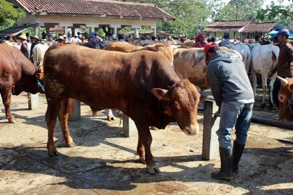 Kegiatan perdagangan sapi di Pasar Pon Blora