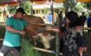 Kontes ternak Sapi dan Kambing tingkat Kabupaten Blora 2019, di lapangan Desa Trembulrejo Kecamatan Ngawen Kabupaten Blora