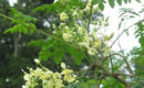 Kelor (Moringa oleifera) (foto: Wikipedia)