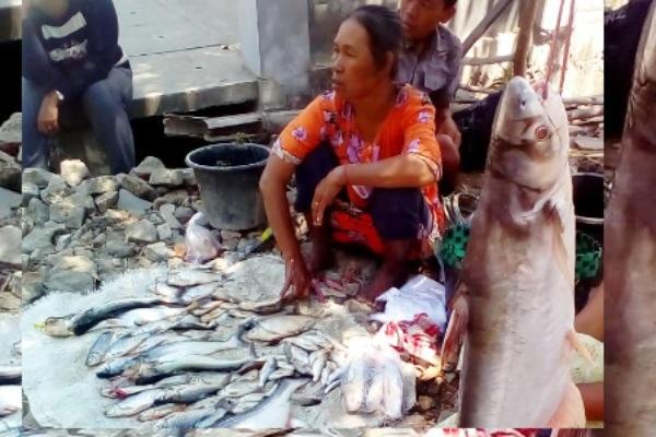 Warga menunjukkan ikan hasil Pladu di Bengawan Solo