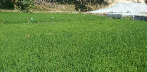 Persawahan di wilayah kawasan waduk greneng Desa Tunjungan Kabupaten Blora