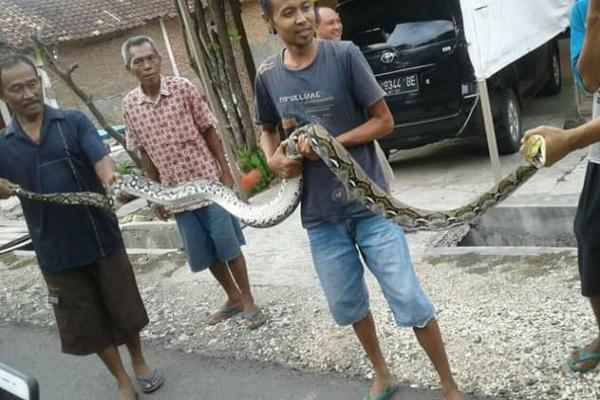 Ular sanca sepanjang 3 meter ditangkap warga Kelurahan Ngawen RT 01 RW 04 Kecamatan Ngawen Kabupaten Blora