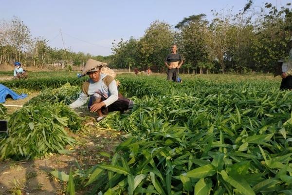 Petani kangkung sawah di Desa Karang Kecamatan Bogorejo Kabupaten Blora