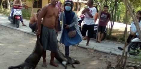 Warga Desa Medalem menunjukkan babi hutan yang kedapatan masuk ke pemukiman