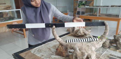 Petugas Rumah Artefak Blora mengukur rentang antar tanduk fosil tengkorak banteng purba