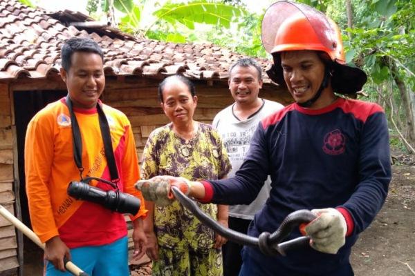 Petugas Satpol PP Blora mengamankan ular kobra yang masuk ke pemukiman warga