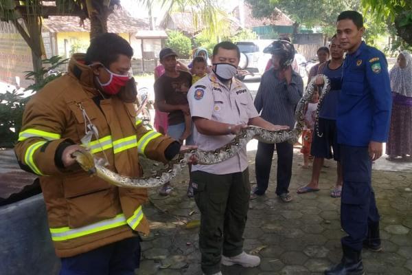 Ular sepanjang 3 Meter, satu dari 3 ular sanca yang berhasil di amankan petugas